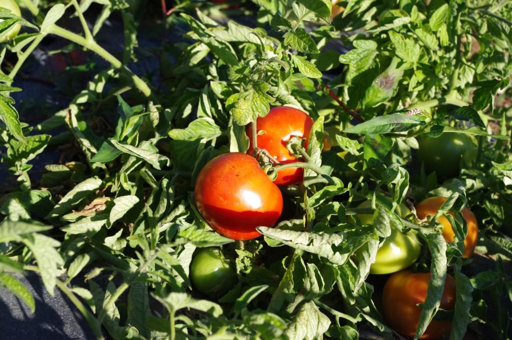 tomates et fruits plein champs enqu te chez un producteur lyonnais le blog de camille. Black Bedroom Furniture Sets. Home Design Ideas