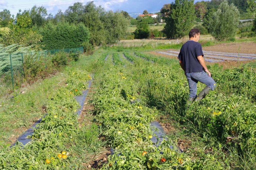Tomates plein champs