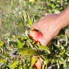 Tomates et fruits plein champs: enquête chez un producteur Lyonnais